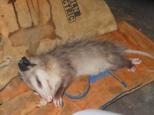 Dead Opossum Removal