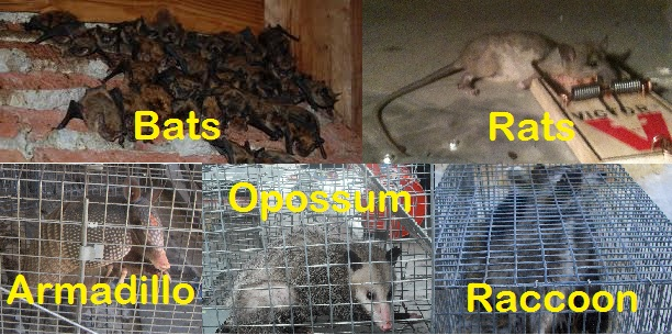 Animal Removal Bats Opossums Snakes