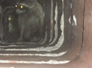 Remove Raccoon from chimney