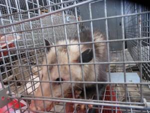 Trap an Opossum