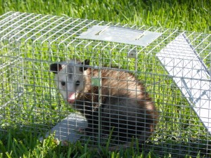 Wildlife Removal Trapping