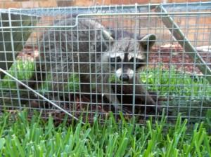 Trap a raccoon