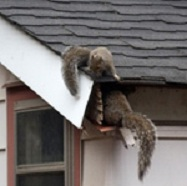 Squirrel removal from soffit